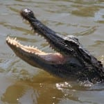 alligator swamp tour