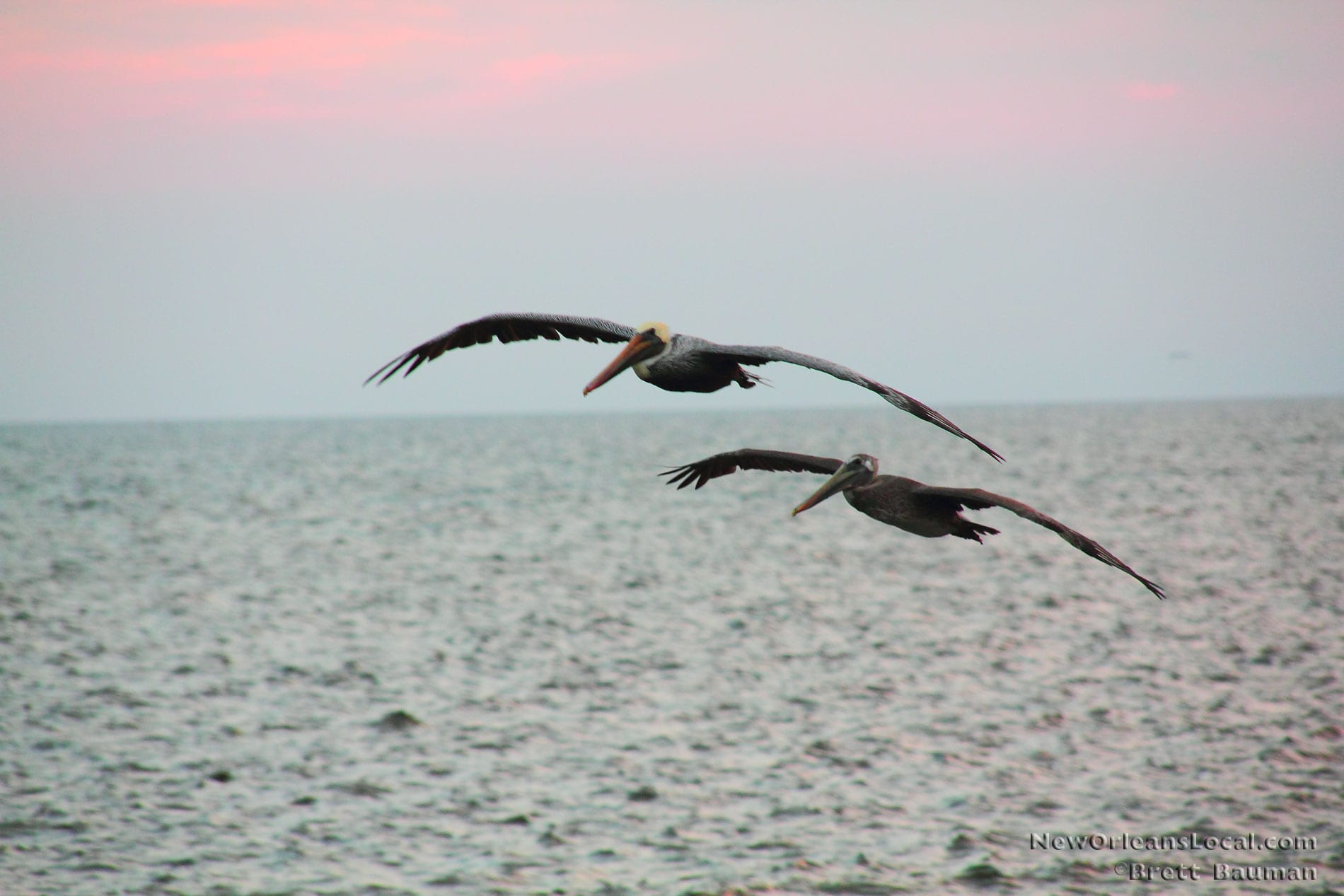 Brown Pelicans, Photo Gallery