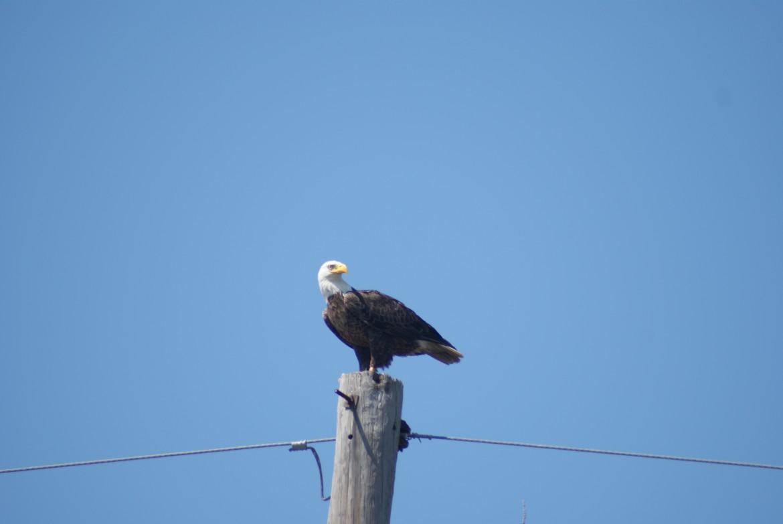 New Orleans Swamp Tour Bald Eagle