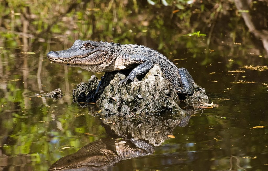 Swamp Tours by tour boat or airboats