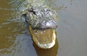 Swamp Tours - Alligator - Louisiana Tour Company