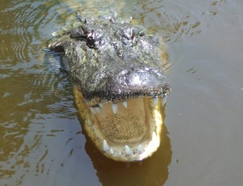 Tired Of Easter Egg Hunts – Search For Alligators Instead