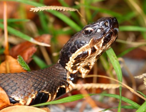 See The Snakes In Louisiana's Swamps