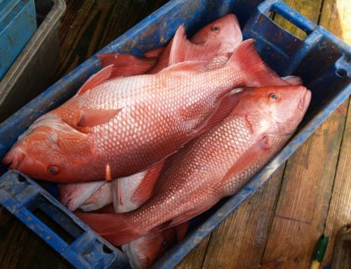 Red Snapper Fishing In Louisiana