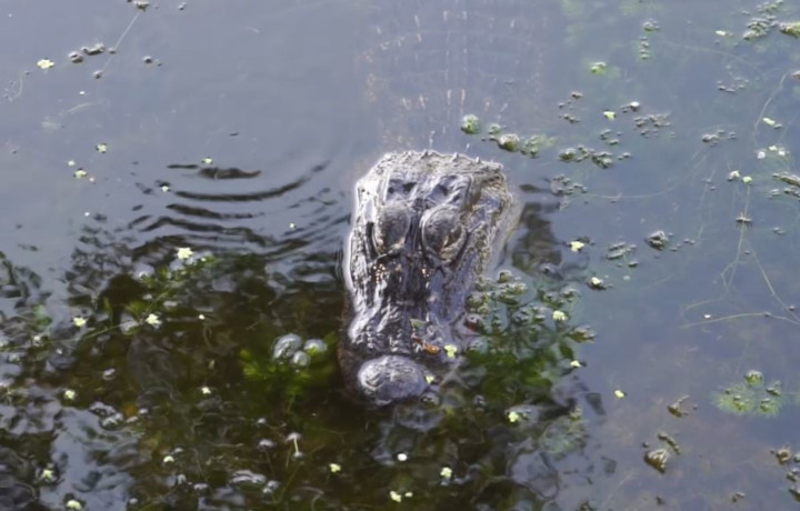 Up Close And Personal, Alligator Swamp Tour